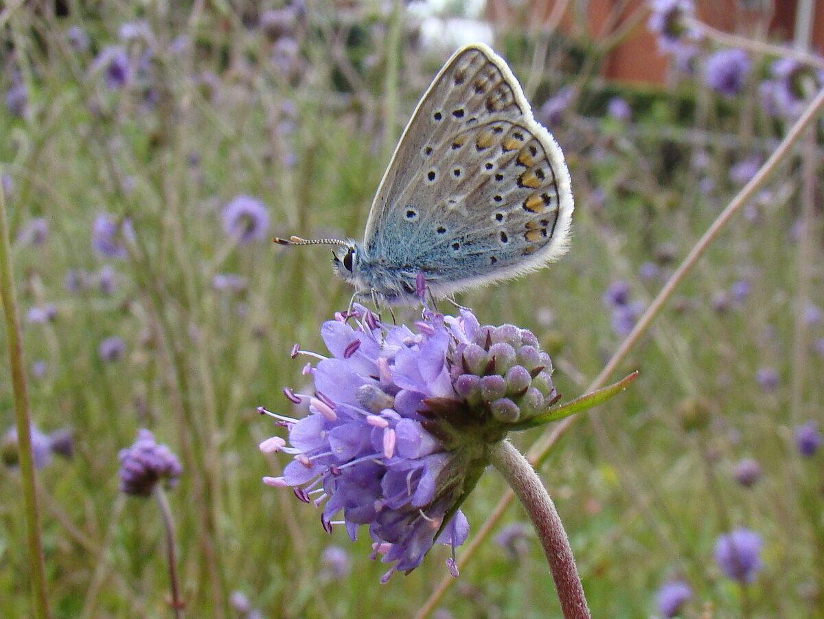 Zoveelste droge periode nekt bedreigde vlinders