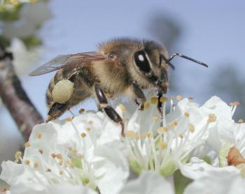 Drenten tellen wilde bijen!