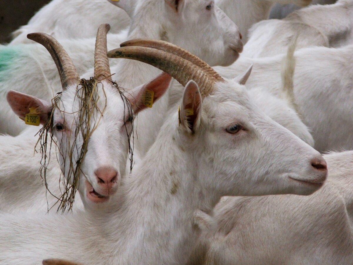 Crowdfunding redt bd-geitenboerderij Hansketien bij Mantinge