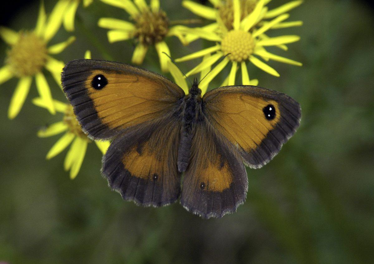 Kom naar de jubileumdag van Vlinderwerkgroep Drenthe
