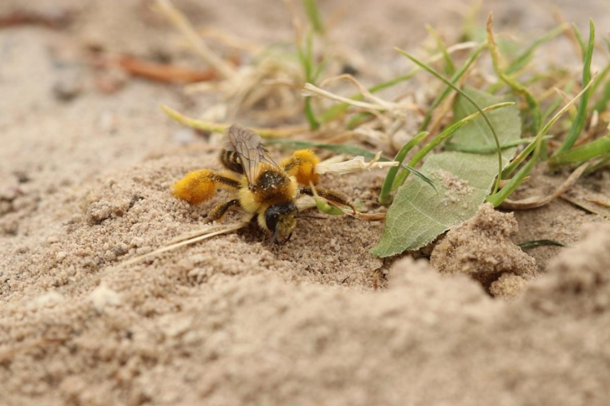 Lezing Bescherming wilde bijen in tuin en landschap