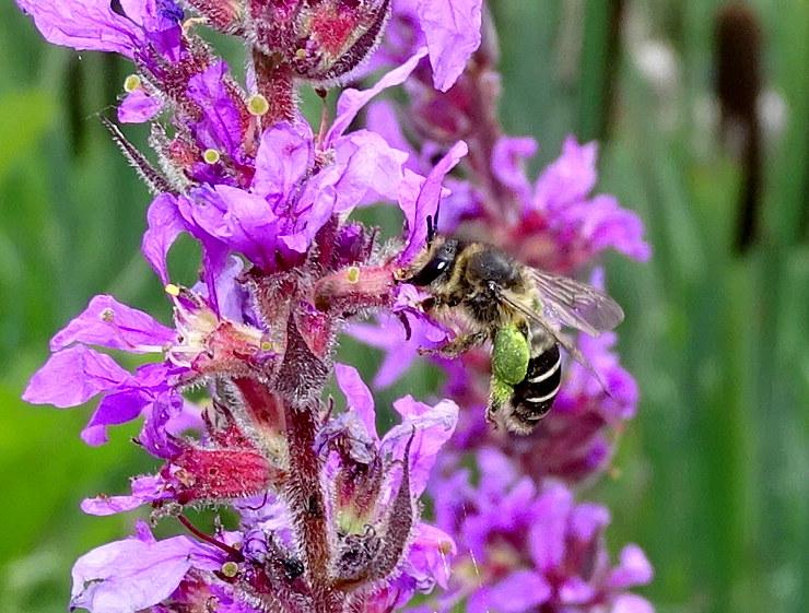 Wilde bijen (vervolg)