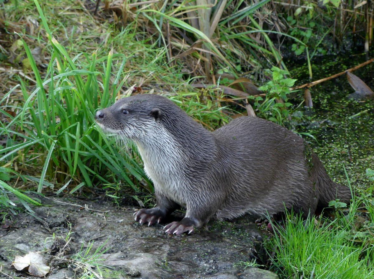 Zoogdiervereniging roept 2021 uit tot 'Jaar van de Otter'