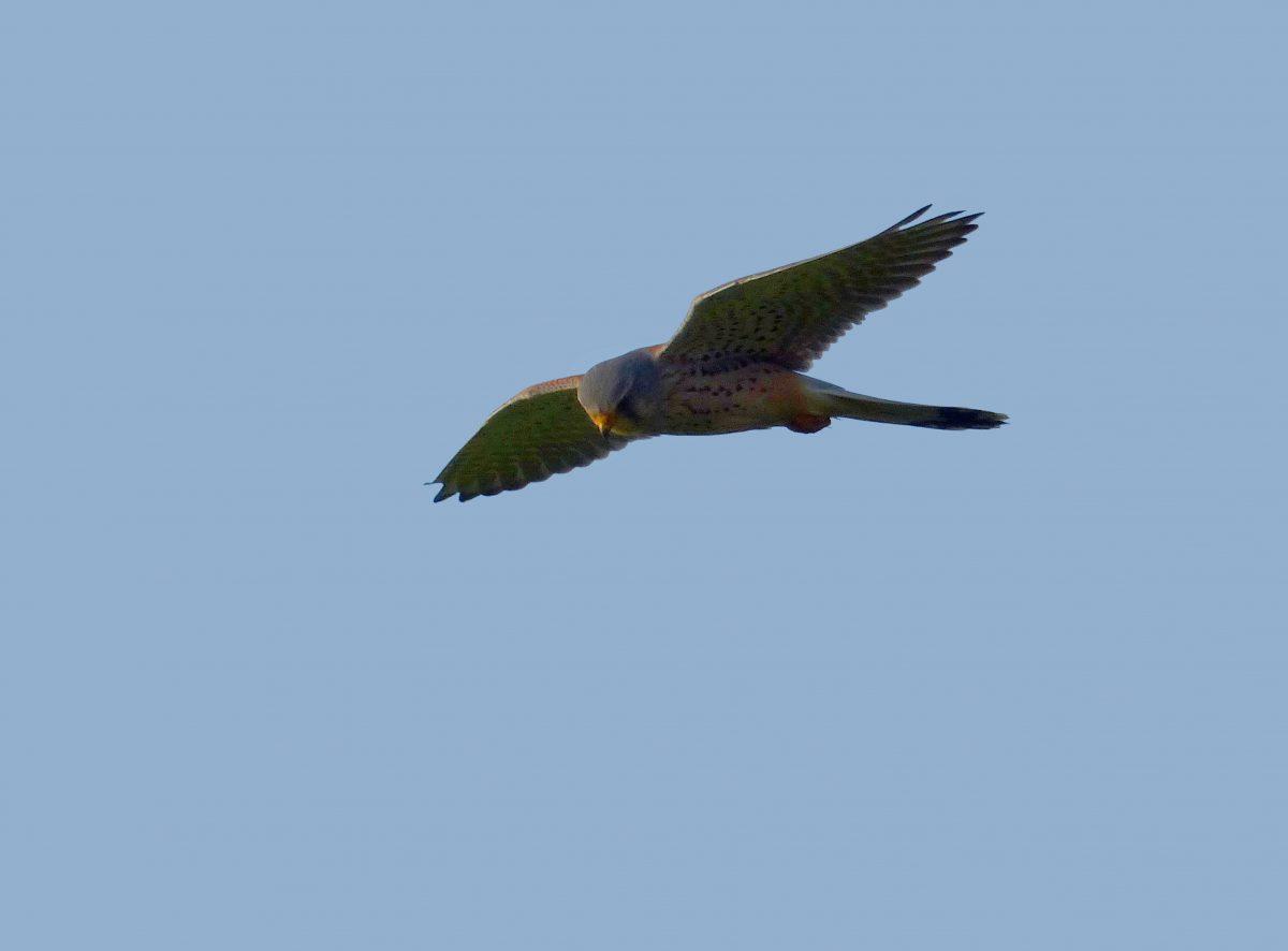 Biddende torenvalk vliegt met de snelheid van de wind
