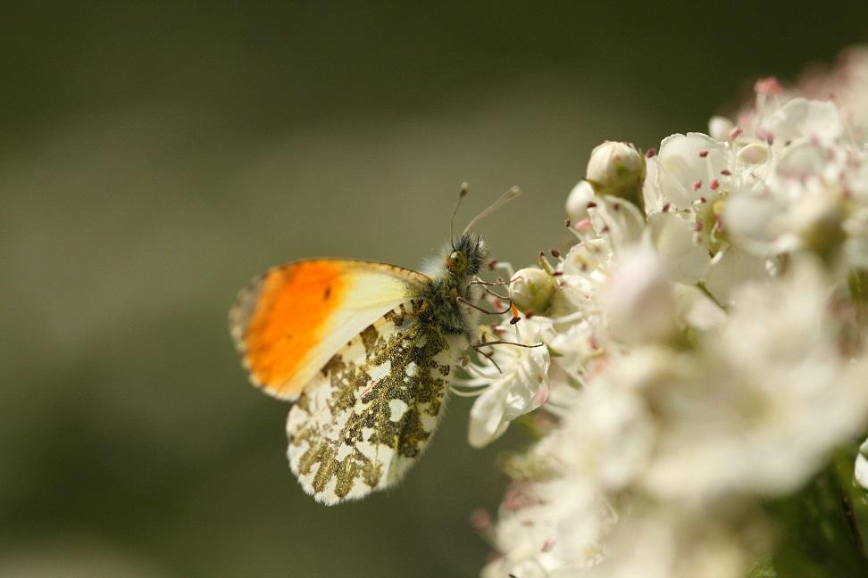 Online voorjaarsbijeenkomst Vlinderwerkgroep Drenthe 19 april