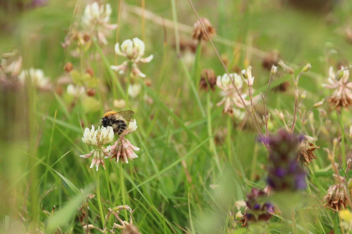 Online lezing: bescherm de wilde bijen